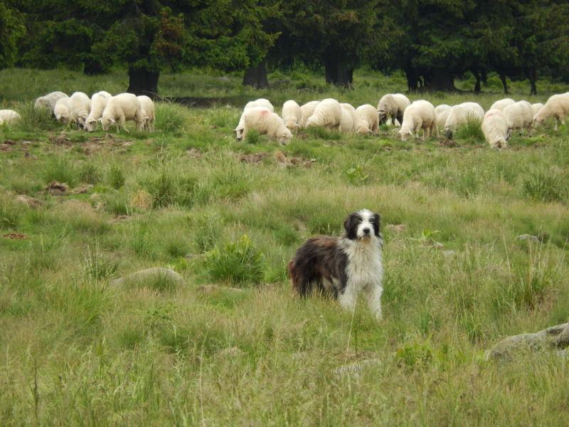 mit seiner Herde und Hütehunden