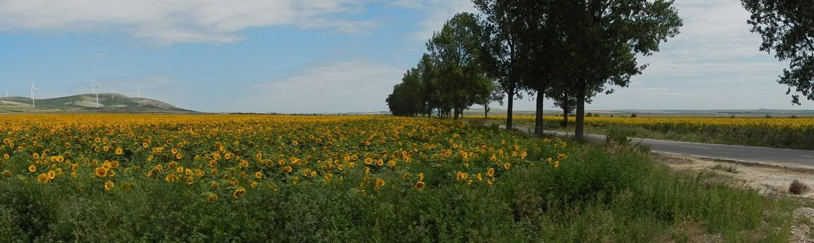 und nochmal Sonnenblumen