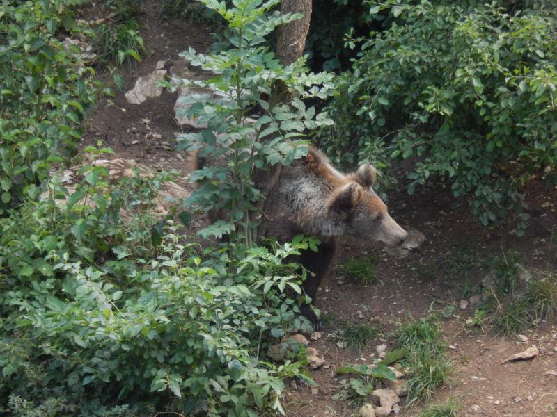 junger Bär