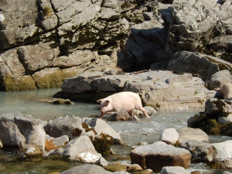 ein Wasserschwein