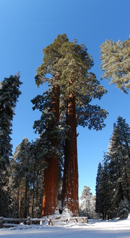 diese Riesenbäume