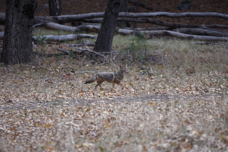 Koyoten