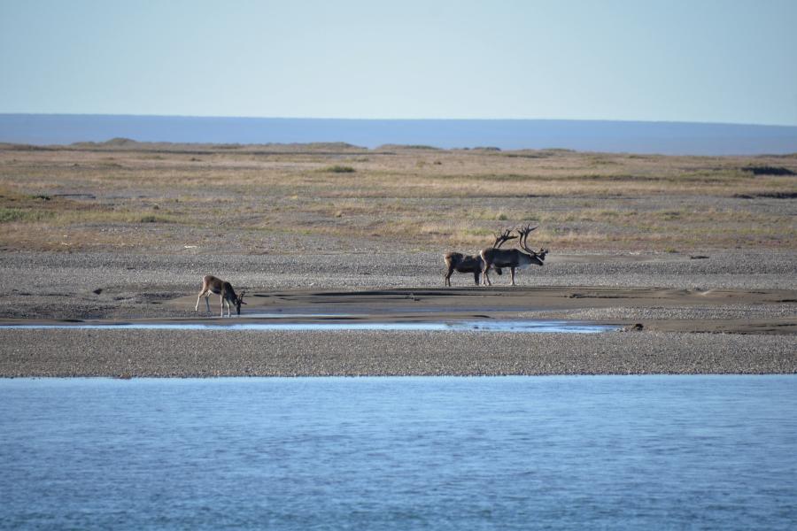 auf der anderen Seite Caribous