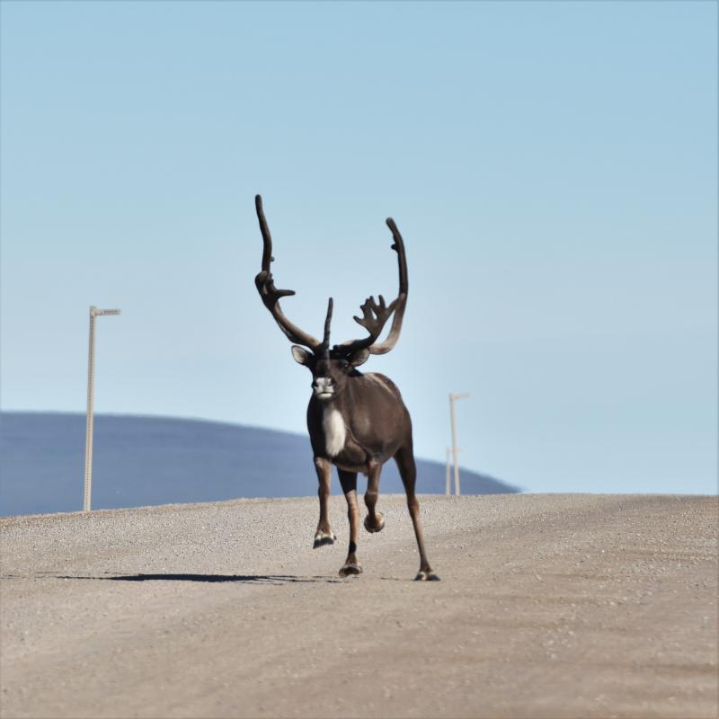 kommt das Caribou