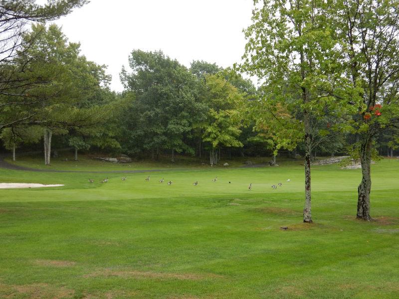 Wildgänse auf dem Golfplatz
